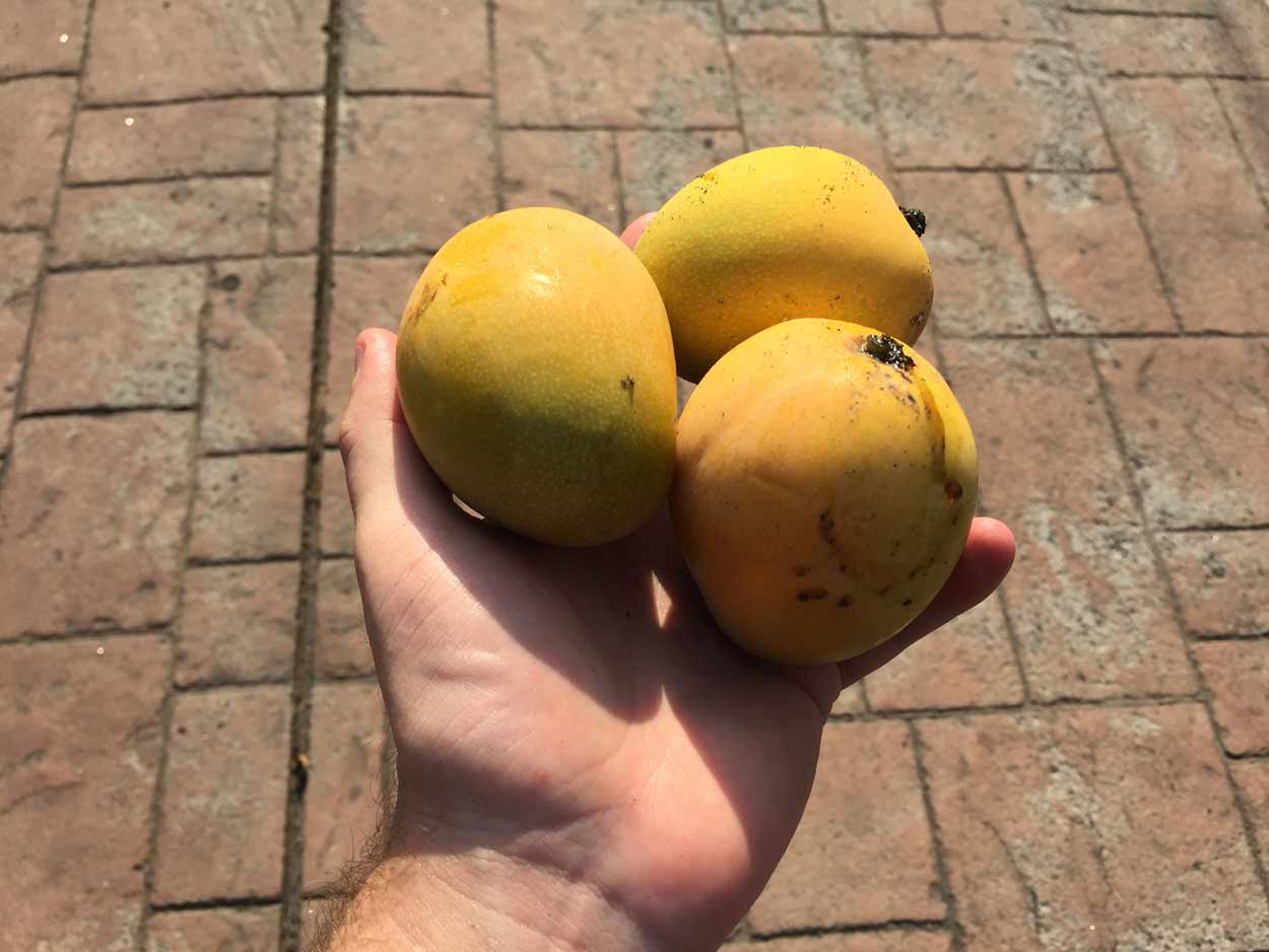 Day 69 Continued… Mango Picking and Drinking